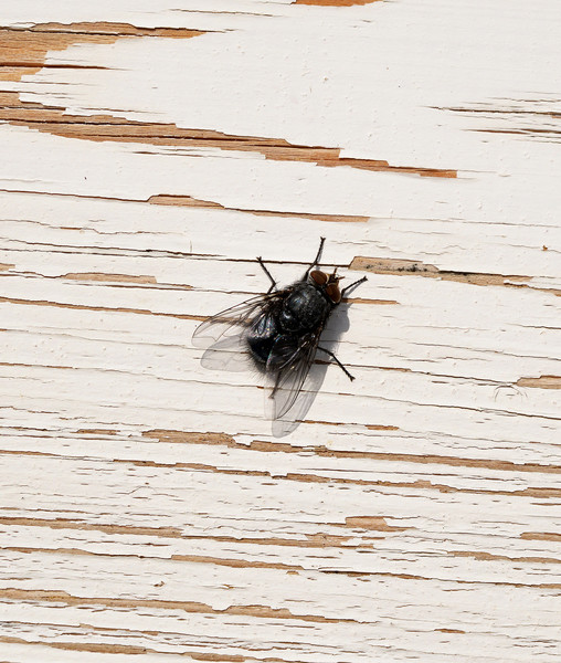 Houseflies Are A Great Source Of Protein