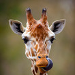 Giraffes Have Ridiculously Long Tongues