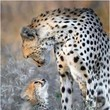 Cheetah Child
