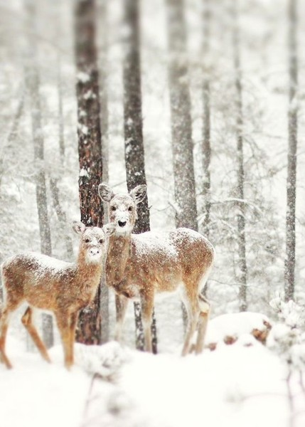 Snow-Eyed Deer