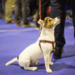 The Annual Thanksgiving Day National Dog Show
