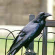There Must Be At Least Six Ravens At The Tower Of London At All Times